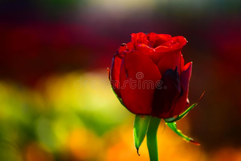 Rosa Il monarca del fiore del giardino fotografia stock