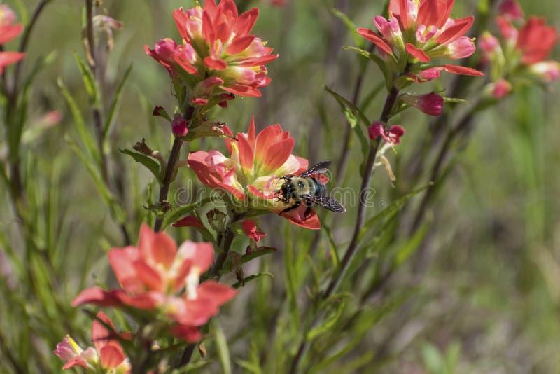 Rosa indischer Malerpinsel F gelbe und schwarze Hummel Pollenating stockfotografie