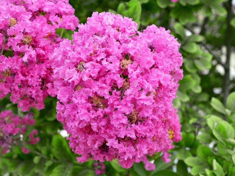 Rosa inflorescence för frodig frotté av kräppmyrten arkivfoto
