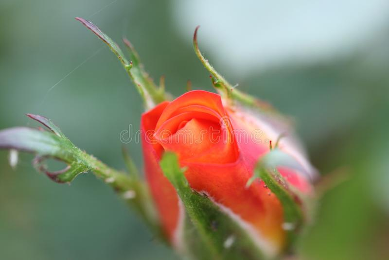 Rosa inglese immagine stock immagine di floreale petali for Rosa inglese