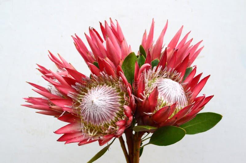 Rosa isblomma för röd Protea på vit bakgrund royaltyfri foto