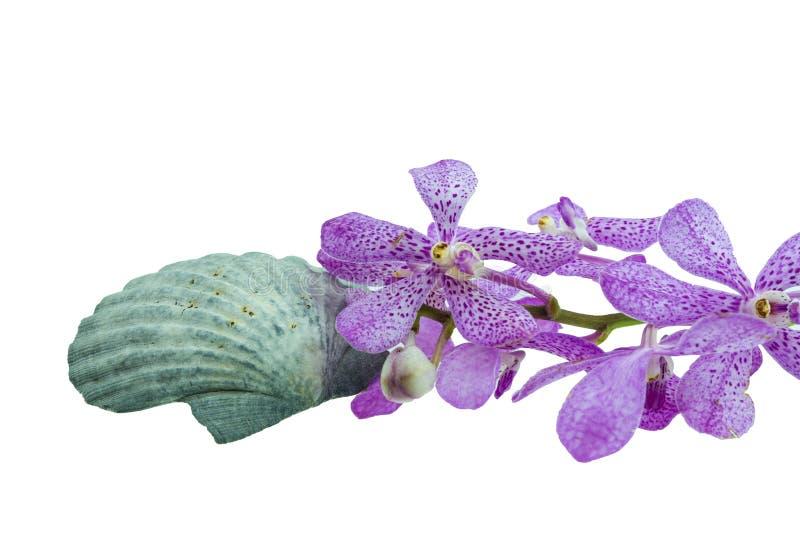 Rosa Isolat des mokara Orchideen- und Kamm-Muscheloberteils (sehen Sie Pectinidae) lizenzfreie stockfotos