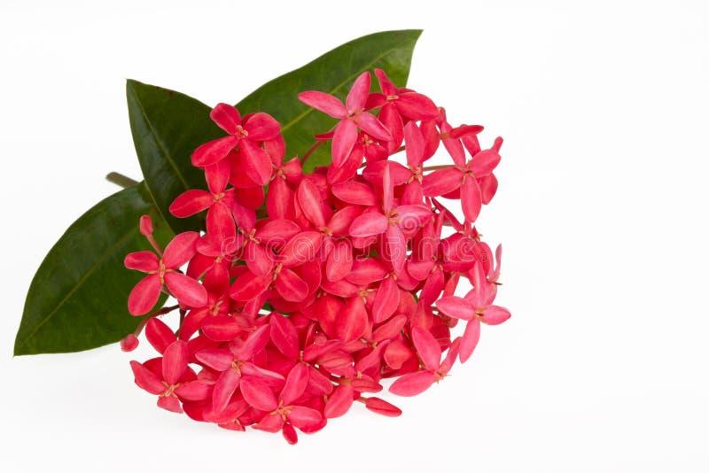 Rosa Ixora blomma royaltyfri fotografi