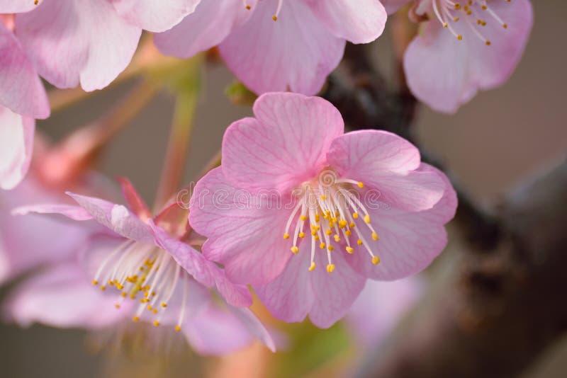 Rosa japonés Cherry Blossom Closeup fotografía de archivo