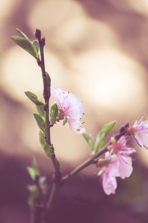 Rosa körsbärsröd blomma royaltyfri fotografi