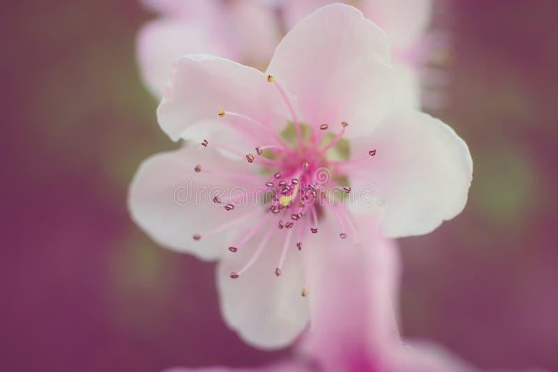 Rosa körsbärsröd blomma royaltyfria foton