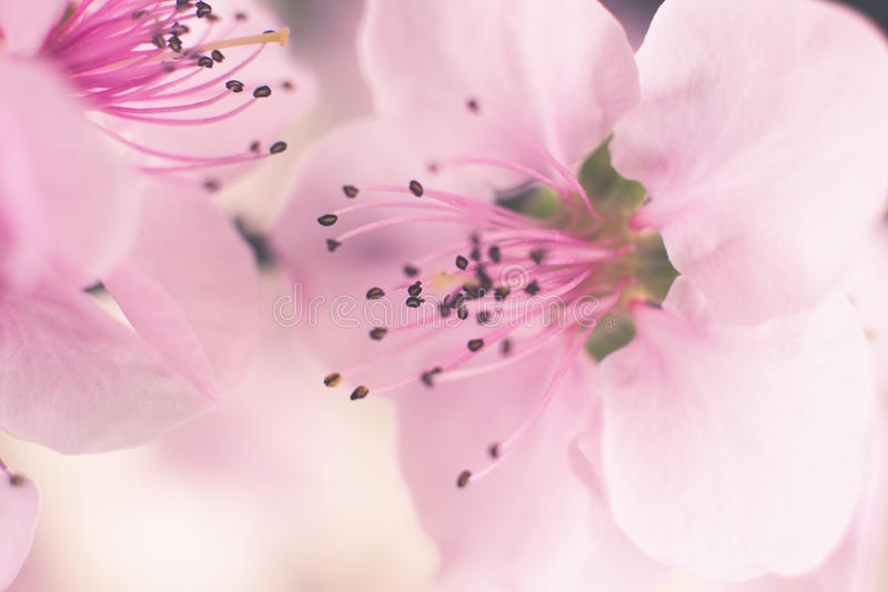 Rosa körsbärsröd blomma arkivbilder
