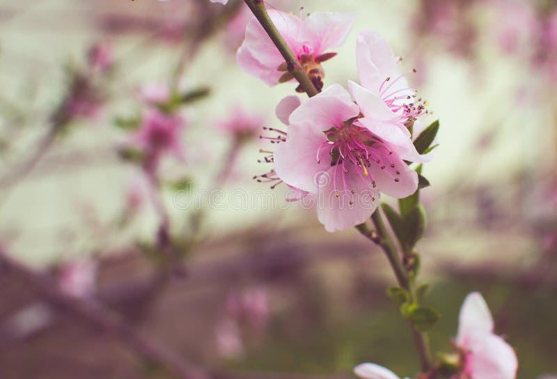Rosa körsbärsröd blomma royaltyfri foto