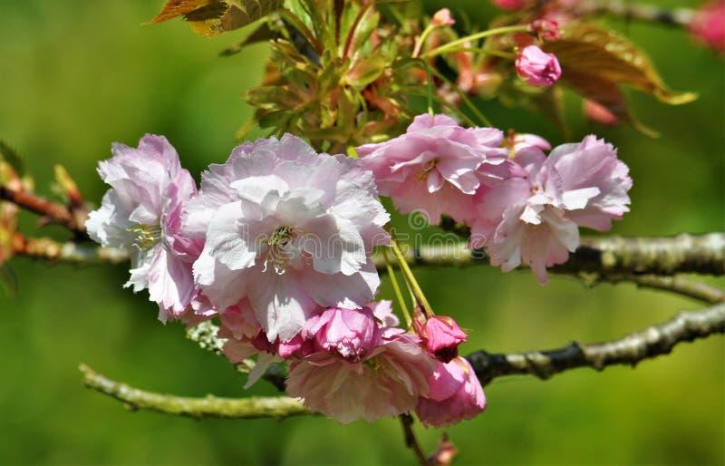 Rosa körsbärsröd blomning i trädgården i vår arkivbilder
