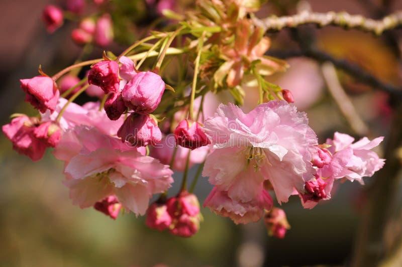 Rosa körsbärsröd blomning i trädgården i vår arkivbild
