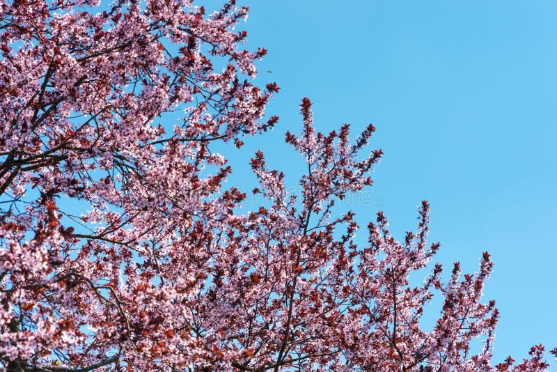 Rosa körsbärsröd blomning med himmelbakgrund arkivbild