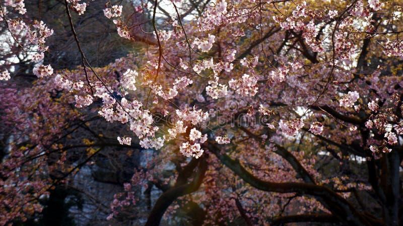 Rosa körsbärsröd blomning som skiner till och med solljus arkivfoto