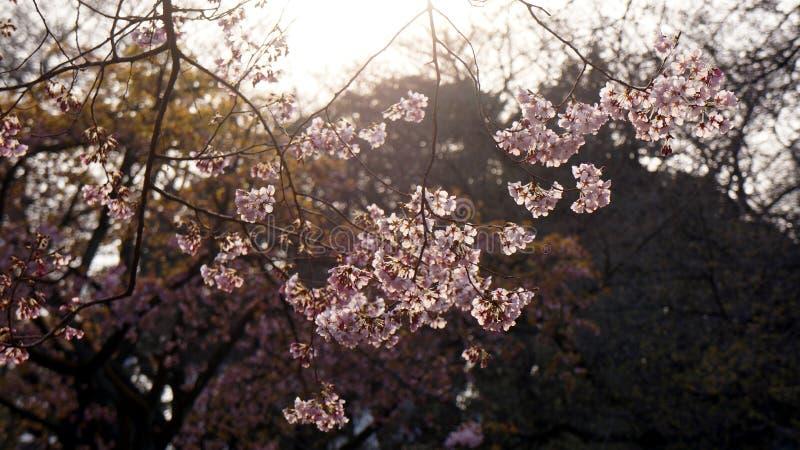 Rosa körsbärsröd blomning som skiner till och med solljus royaltyfri fotografi