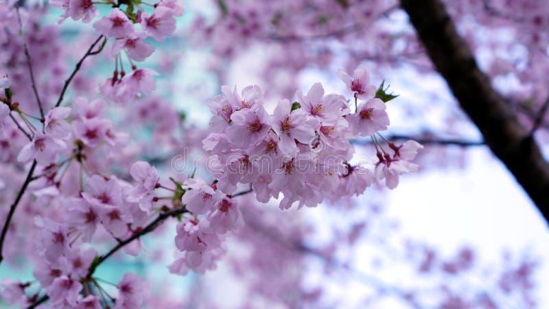Rosa körsbärsröd blomning under blå himmel royaltyfria foton