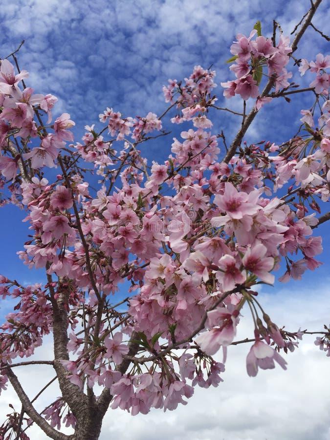 Rosa körsbärsröda blomningar med blå himmel som bakgrunden royaltyfri foto
