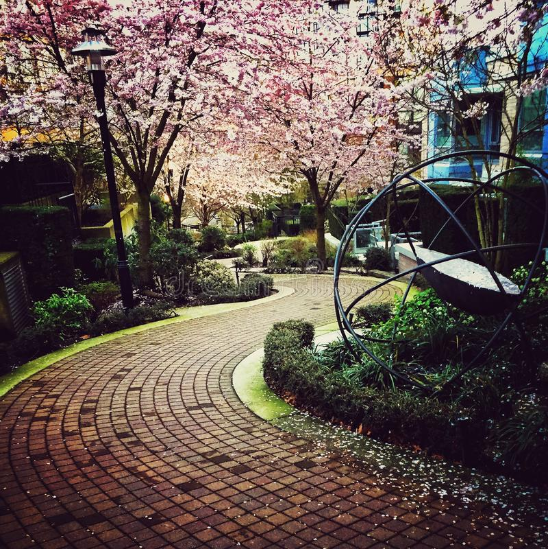 Rosa körsbärsröda blomningar och en tegelstenbana arkivfoton