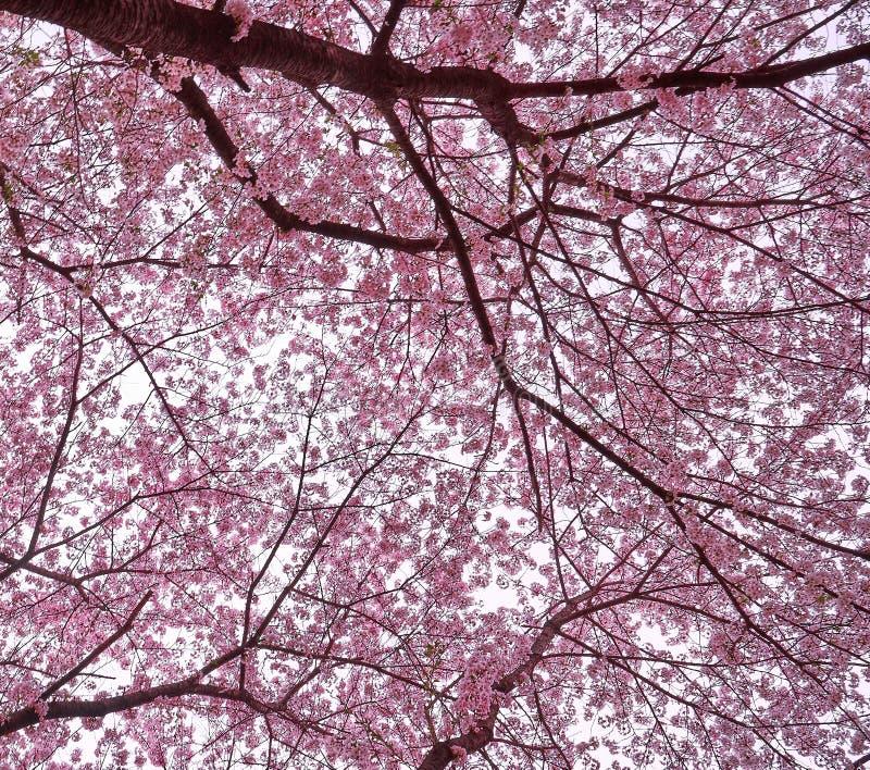 Rosa körsbärsröda blomningar som broderas i himlen på Sydkorea royaltyfri fotografi