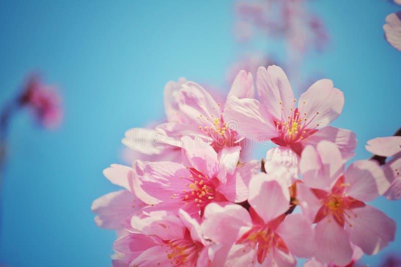 Rosa körsbärsröda blomningar under blå himmel arkivfoto