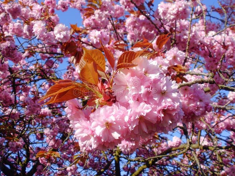 Rosa körsbärsröda blomningar under en ljus blå himmel royaltyfri bild