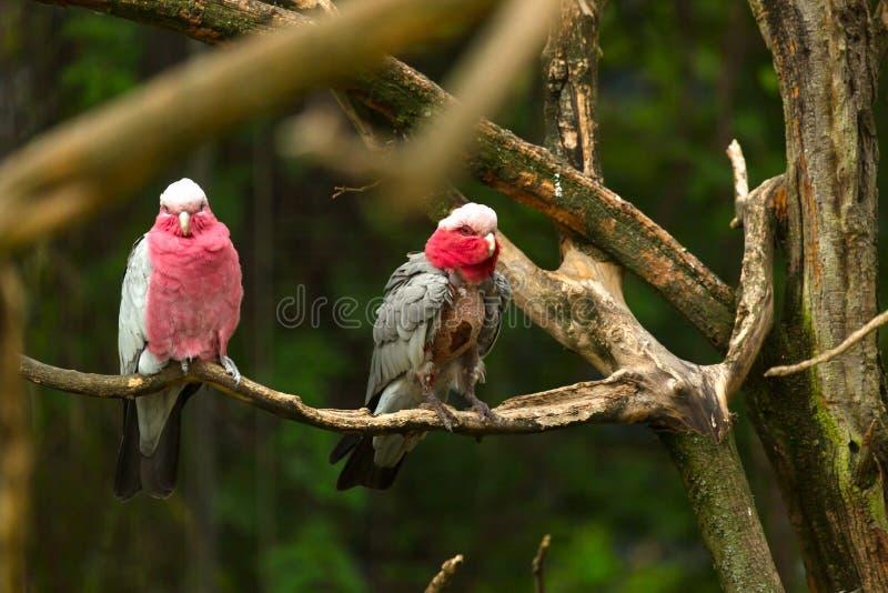 Rosa kakadua på trädet royaltyfri fotografi
