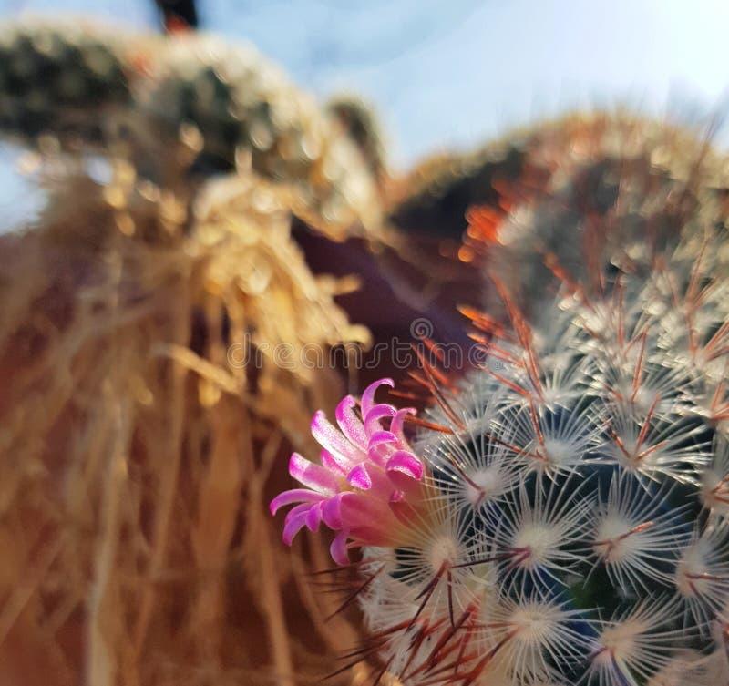 Rosa Kaktus-Blume stockfotos