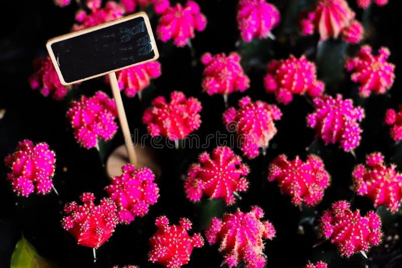 Rosa kaktusblomma för härlig blomning med den inramade svart tavla som är tom för bakgrund för textordhandstil arkivbild