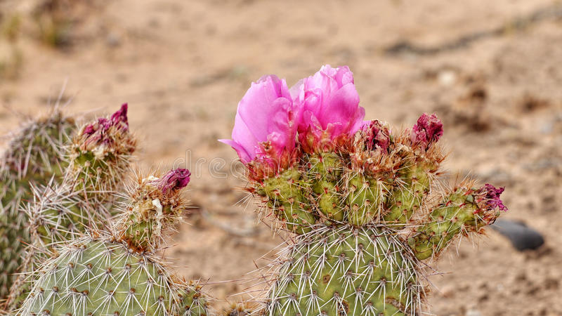 Rosa kaktusblomma i det löst royaltyfri foto