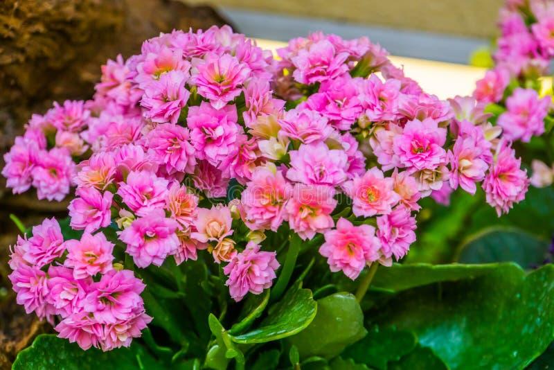 Rosa kalanchoeblommor i closeupen, populär kultiverad dekorativ houseplant från Afrika fotografering för bildbyråer
