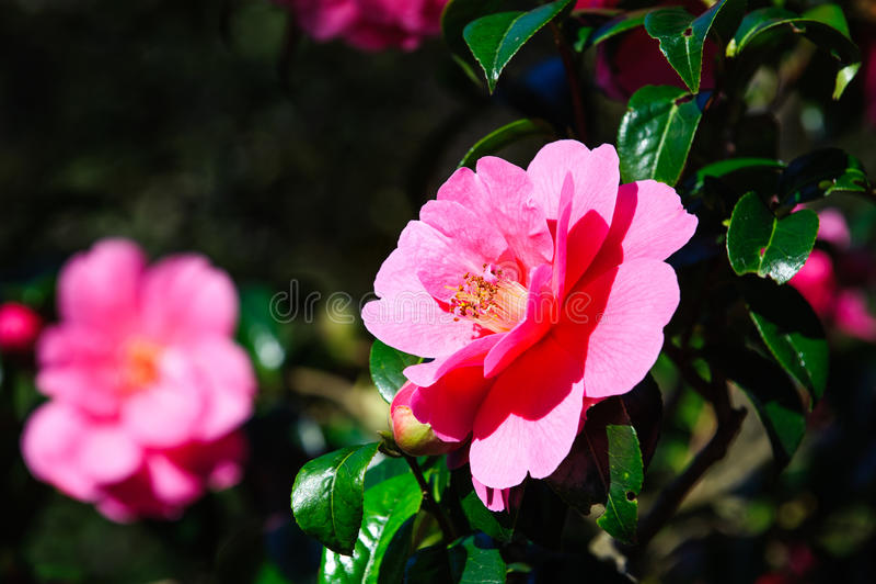 Rosa kameliablomma arkivbild