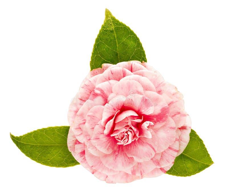 Rosa kameliablomma som isoleras på vit bakgrund royaltyfria foton