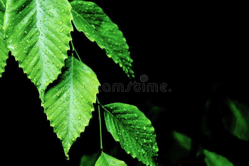 Rosa Kapie z Zielonych liści obrazy royalty free