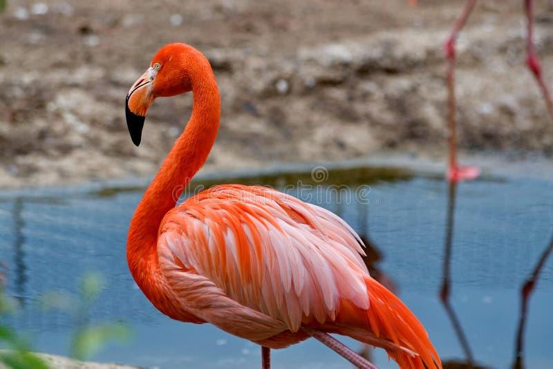 Rosa karibisk flamingolat Phoenicopterus Skönhet, nåd, en special berlock och unikhet av flamingo arkivfoton
