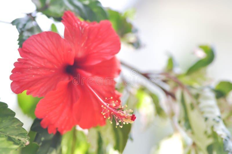 Rosa kines eller hibiskus royaltyfri foto