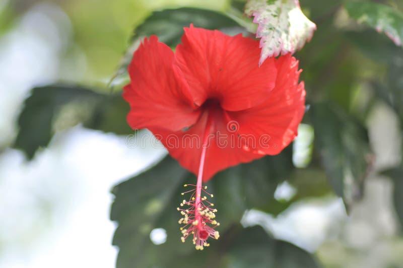 Rosa kines eller hibiskus arkivfoton