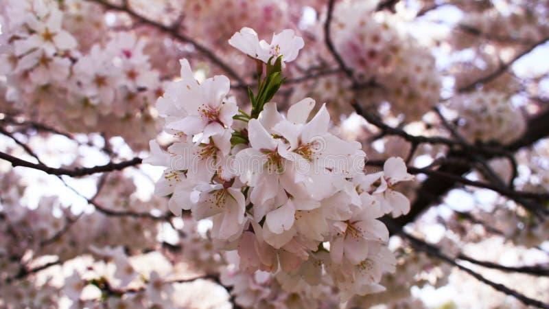 Rosa Kirschblüte auf Baumast stockbilder