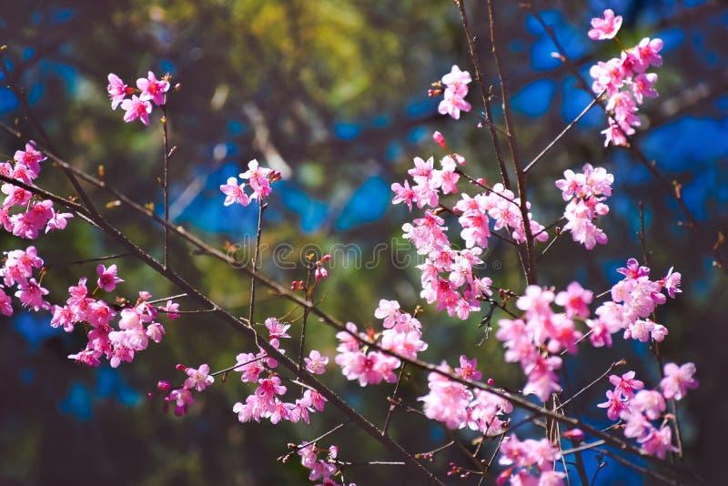 Rosa Kirschblüte im blauen Himmel , Großaufnahme, blühender Baumbrunch mit weißen Blumen am Frühling stockbilder