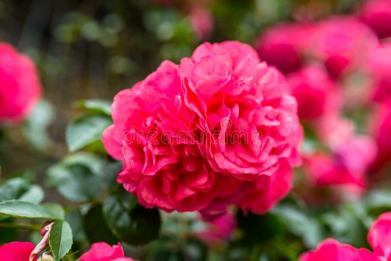 Rosa klättrarosor som växer på väggen av byggnaden fotografering för bildbyråer