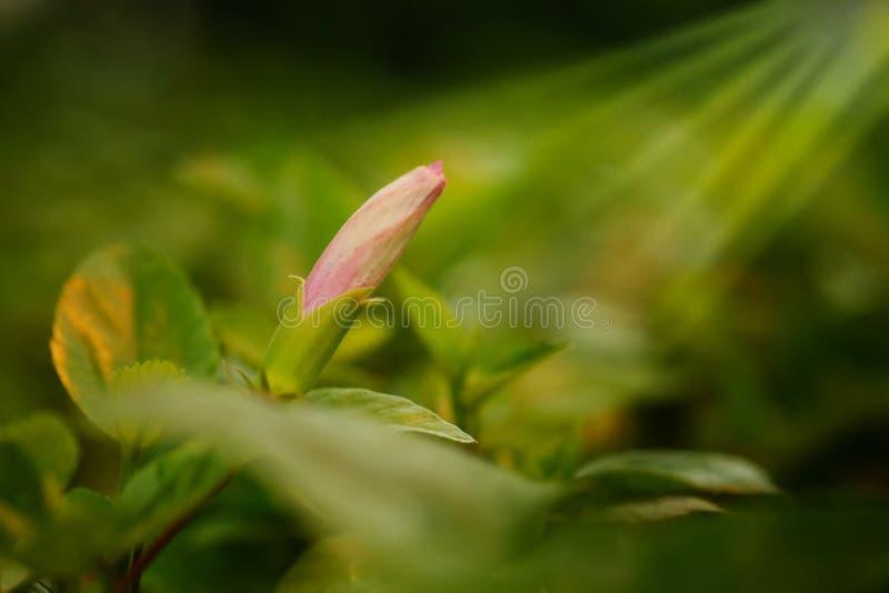 Rosa Klasse Hibiscus, das shoeflower oder Porzellan stieg in Garten affter, das Hintergrund regnet stockfoto
