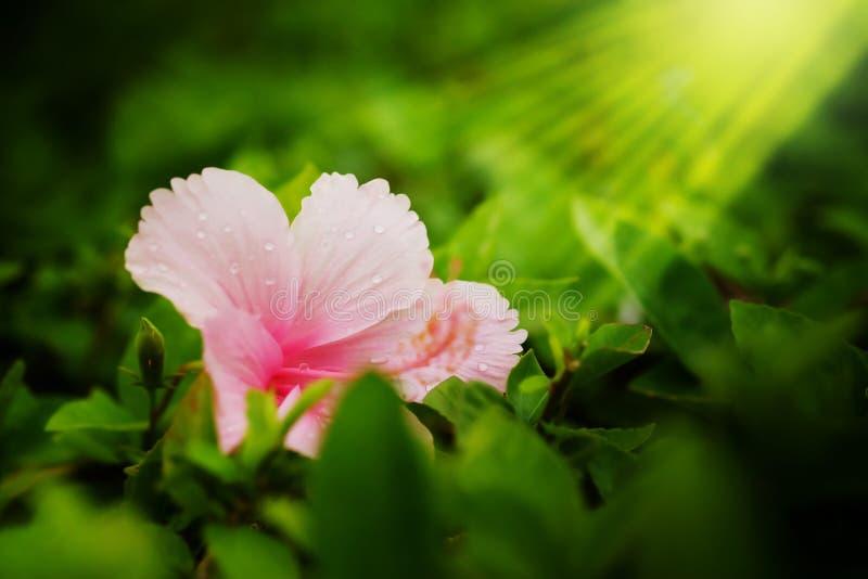 Rosa Klasse Hibiscus, das shoeflower oder Porzellan stieg in Garten affter, das Hintergrund regnet lizenzfreie stockfotografie