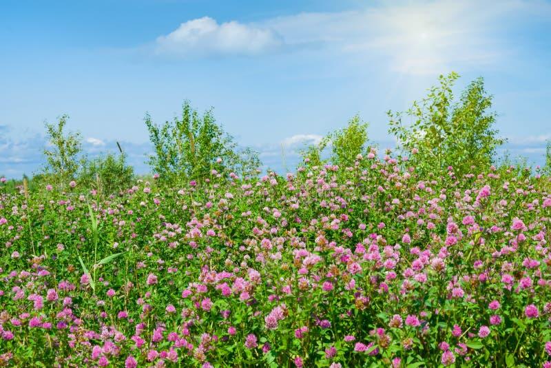 Rosa Kleeblumen in der Wiese, schöner Sommerhintergrund lizenzfreie stockfotos