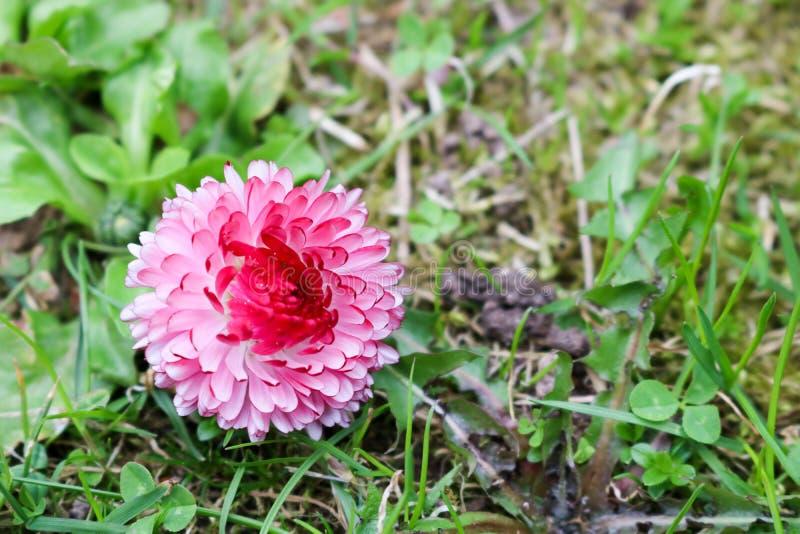 Rosa kleine Frühlingsblume eines Gänseblümchens auf einem Hintergrund des Grüns lizenzfreies stockfoto