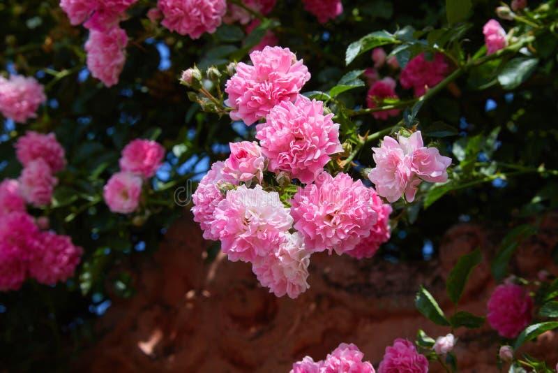 Rosa kletternde Rosen Rosa in der Blüte draußen stockfotos