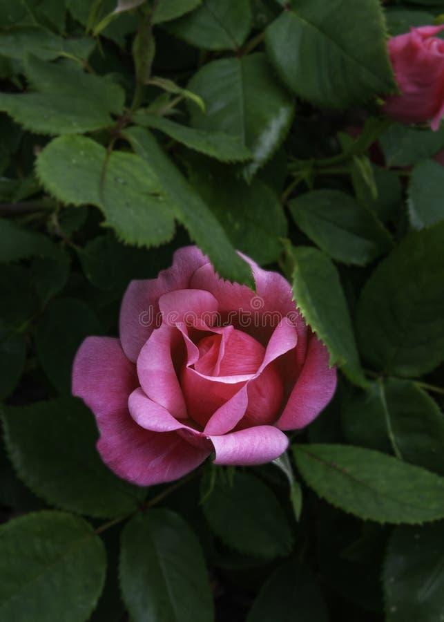 Rosa knockout Rose stockfotos
