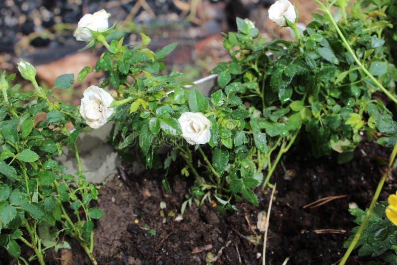 Rosa knoppar a för blommor arkivfoton