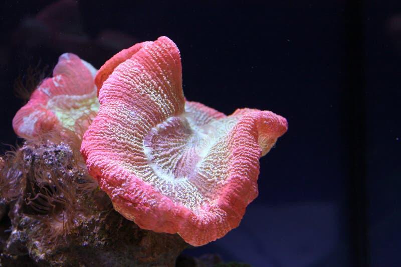 Download Rosa korall arkivfoto. Bild av pink, wallpaper, korall - 76700594