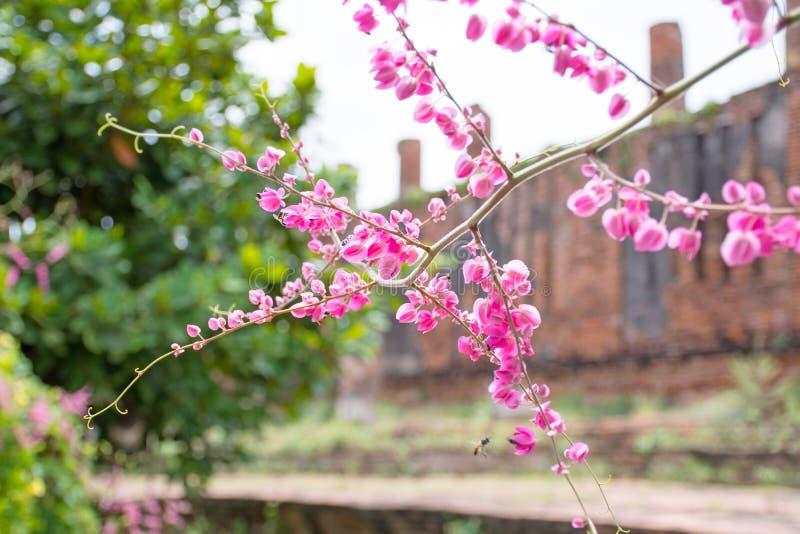 Rosa korallenrote Rebe oder mexikanische Kriechpflanze oder Kette der Liebe herein kehrend stockfotos