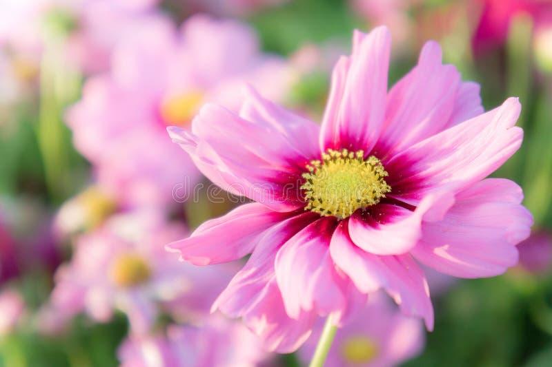Rosa Kosmos blüht, Gänseblümchenblütenblumen im Garten lizenzfreies stockbild