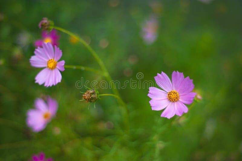 Rosa kosmos blommar att blomma i trädgården i sommaren arkivbilder