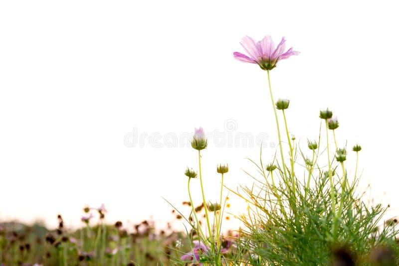 Rosa kosmos blommar i fältet med solnedgång royaltyfria foton