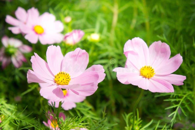 Rosa kosmos blommar i parkera med solljus som moring arkivbild